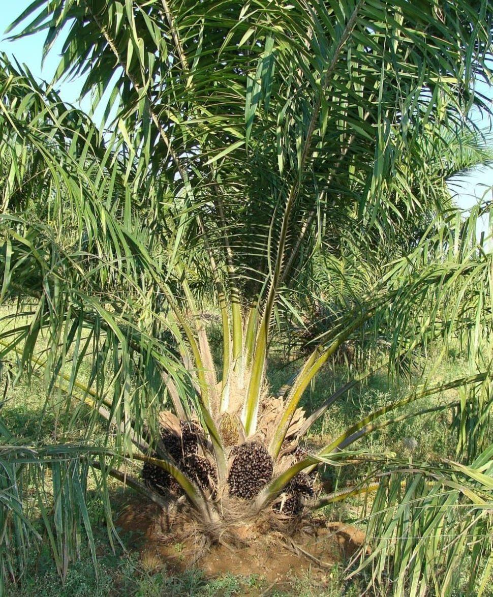 Náhledový obrázek - krveprolití kvůli palmovému oleji