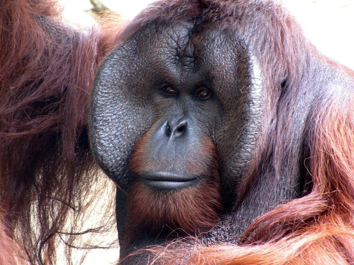 Obrázek - orangutan apalmový olej